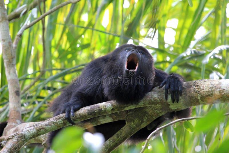 Singe d'hurleur noir, à Belize, hurlant image stock
