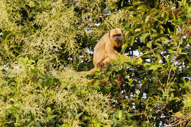 Singe d'hurleur noir femelle dans exprimer d'arbre photo stock