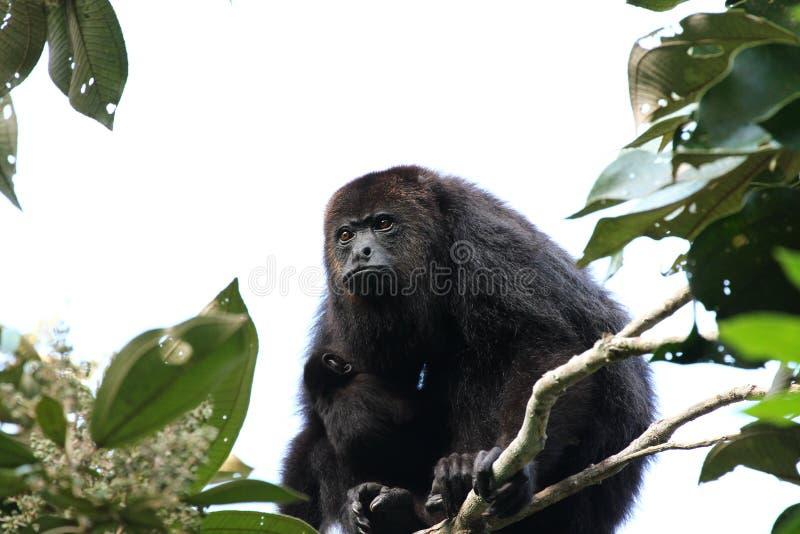 Singe d'hurleur noir guatémaltèque avec un bébé - babouin photos stock
