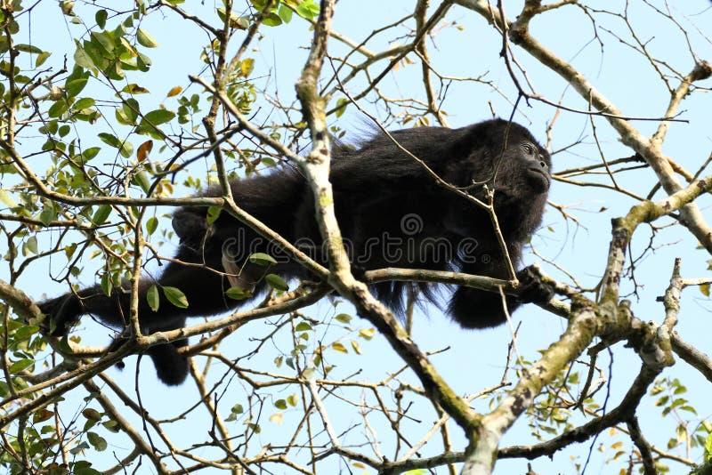 Singe d'hurleur noir guatémaltèque - mâle photographie stock