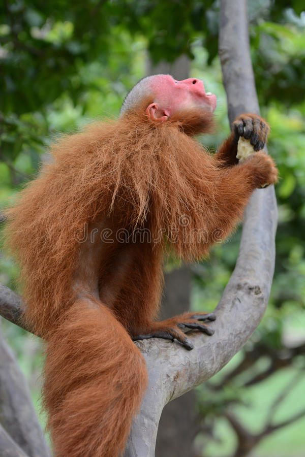 Singe d'Uakari dans l'arbre photographie stock