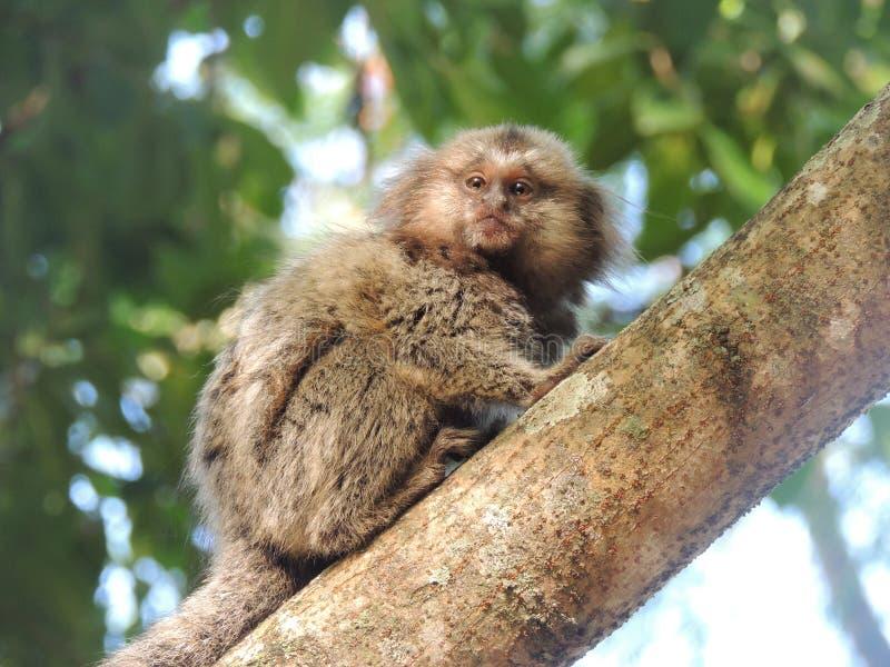 Singe dans l'arbre - Rio de Janeiro photos stock