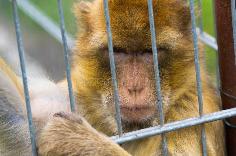 Singe dans la cage de fer images libres de droits