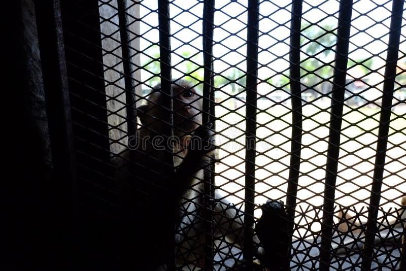 Singe dans la cage photo stock