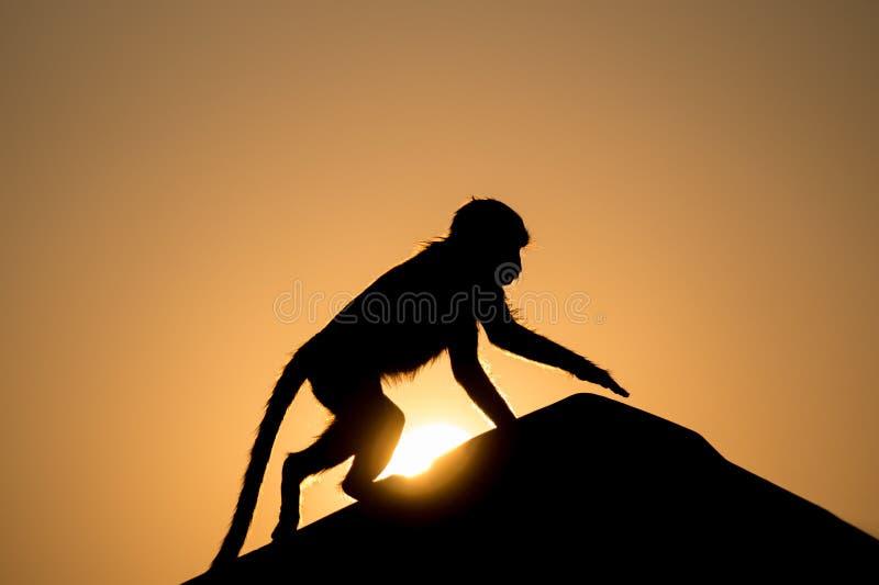 Singe dans le coucher du soleil images libres de droits