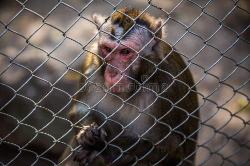 Singe dans le zoo derrière une barrière en métal photos stock