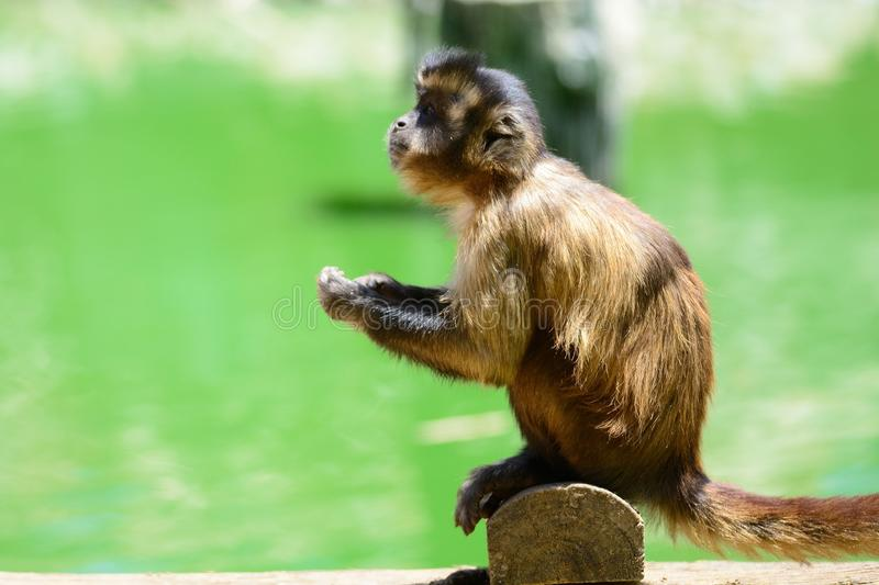 Singe dans un zoo photo stock