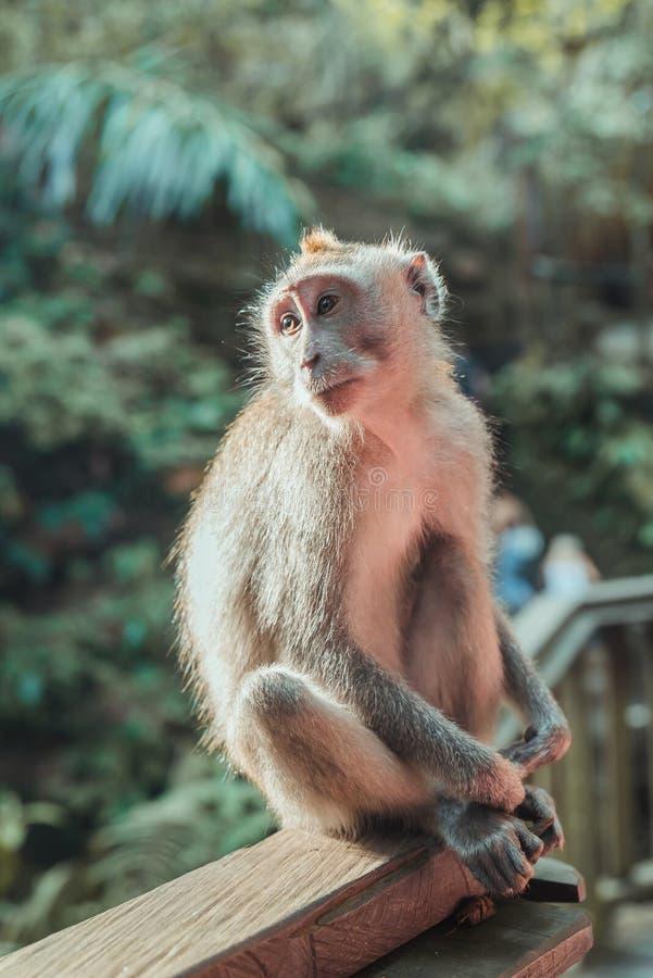 Singe de bébé dans la forêt de singe - Ubud, Bali photographie stock