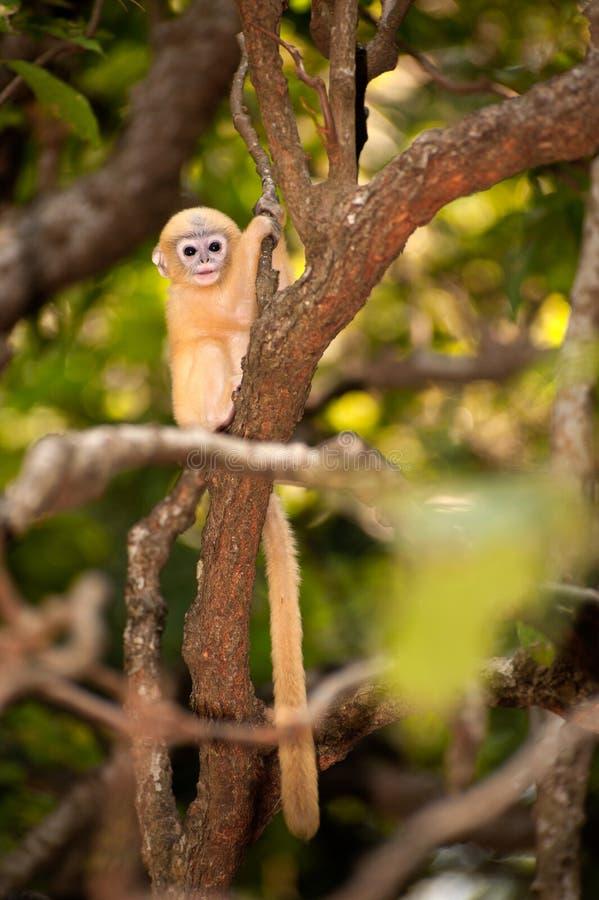 Singe de bébé sur un arbre (obscura reid de Presbytis). photo stock