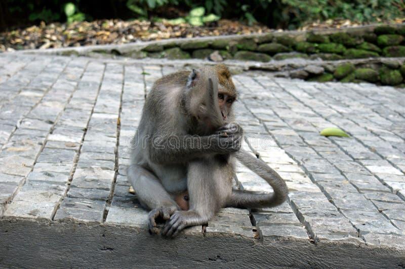 Singe de Bali mangeant sa propre queue photo libre de droits