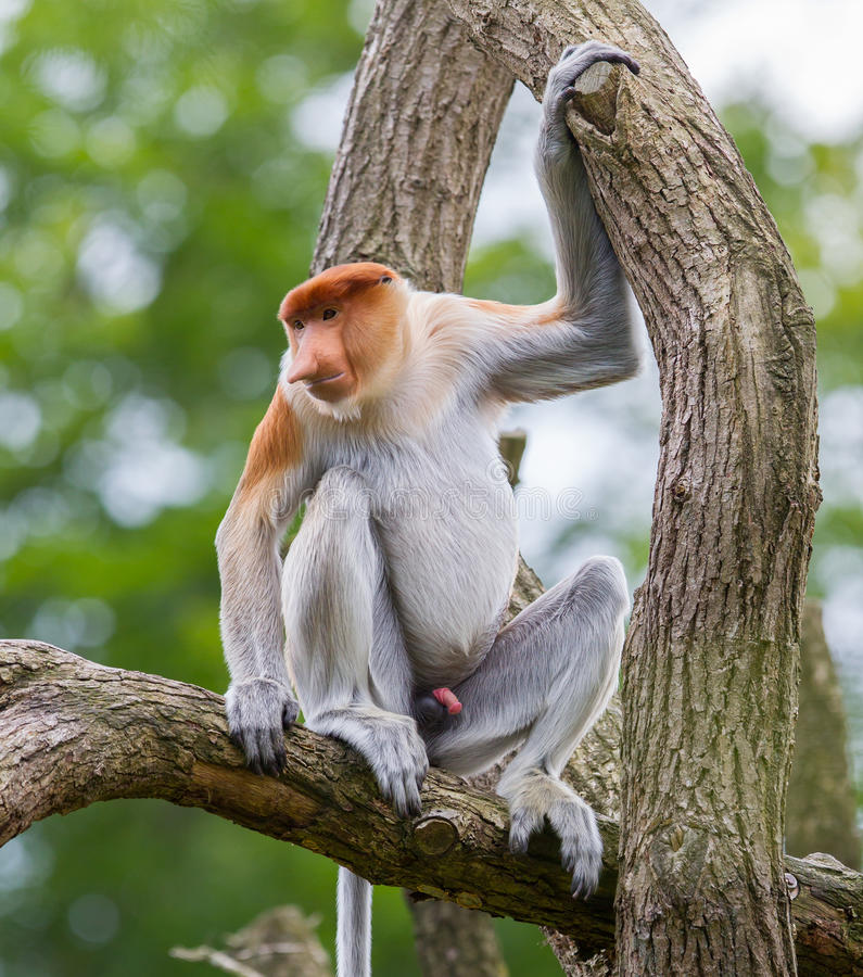 Singe de buse dans un arbre photo stock