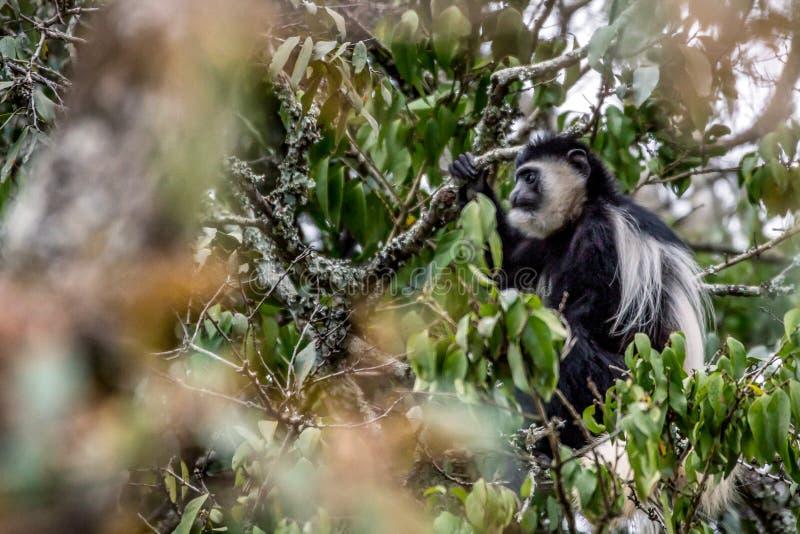 Singe de Colubus en Afrique photo libre de droits
