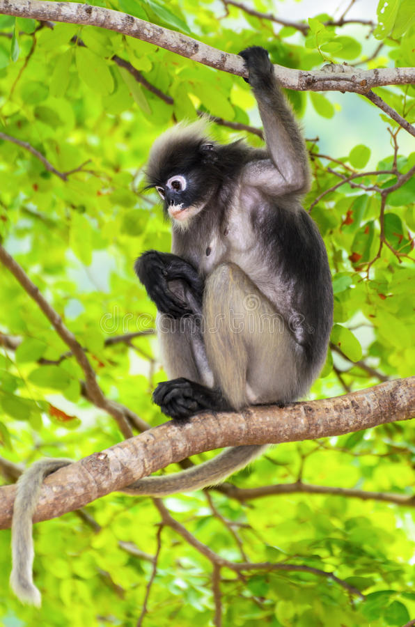 Singe de feuille ou obscurus sombre de Trachypithecus sur l'arbre image stock