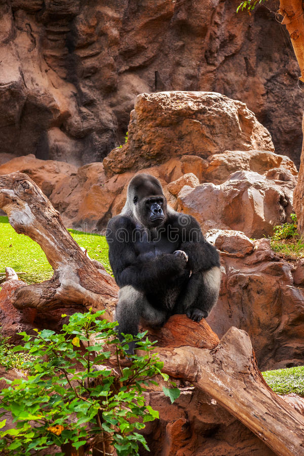 Singe de gorille en stationnement au canari de Tenerife photo stock