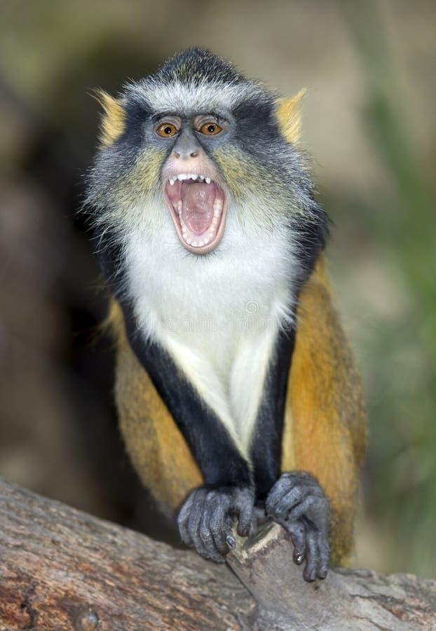 Singe de guenon de loup, grand gremlin observé de l'Afrique images libres de droits