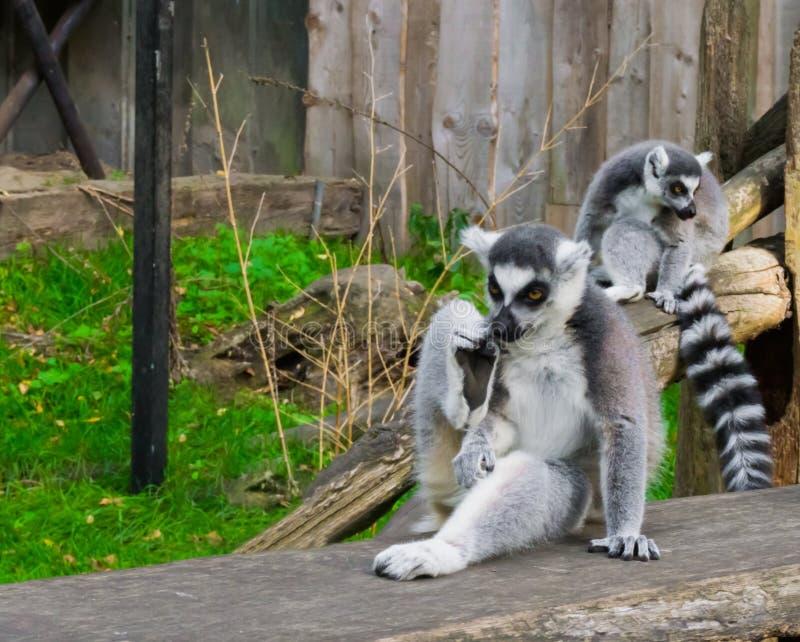 Singe de lémur coupé la queue par anneau drôle se reposant dans une pose fraîche et détendante photos stock