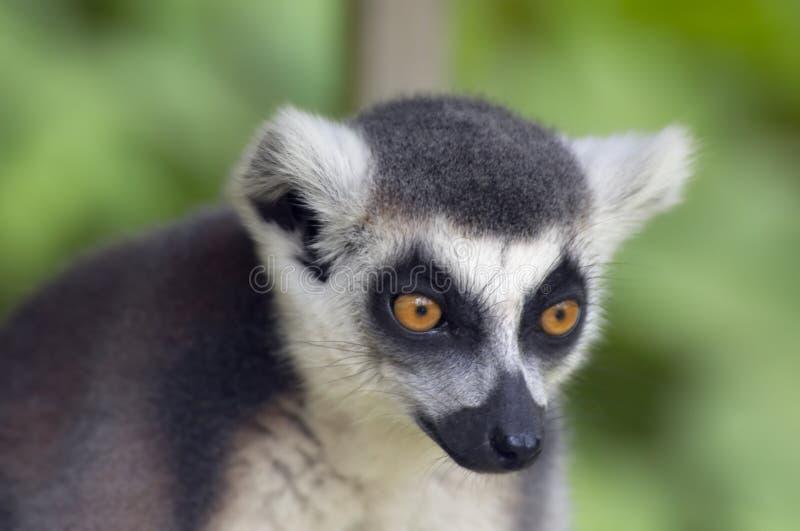Singe de lemur Ring-tailed photo stock