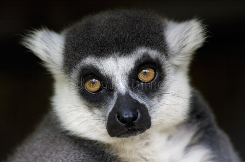 Singe de lemur Ring-tailed images libres de droits