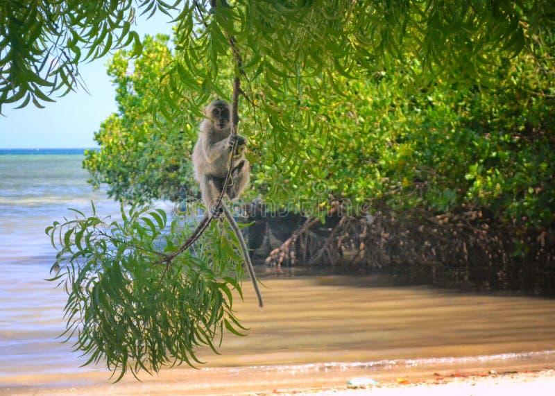 Singe de longue queue en plage de Bama, Java-Orientale photographie stock libre de droits