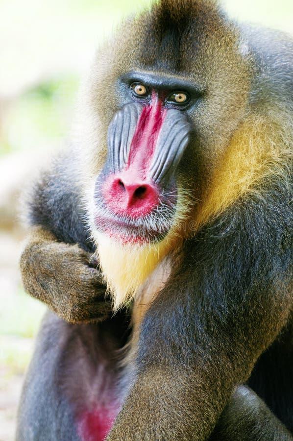 Singe de mâle alpha de mandrill photos stock