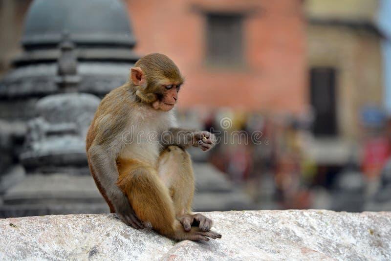 Singe de Macaque, au temple de Swayambhunath. Katmandou, Népal photographie stock libre de droits