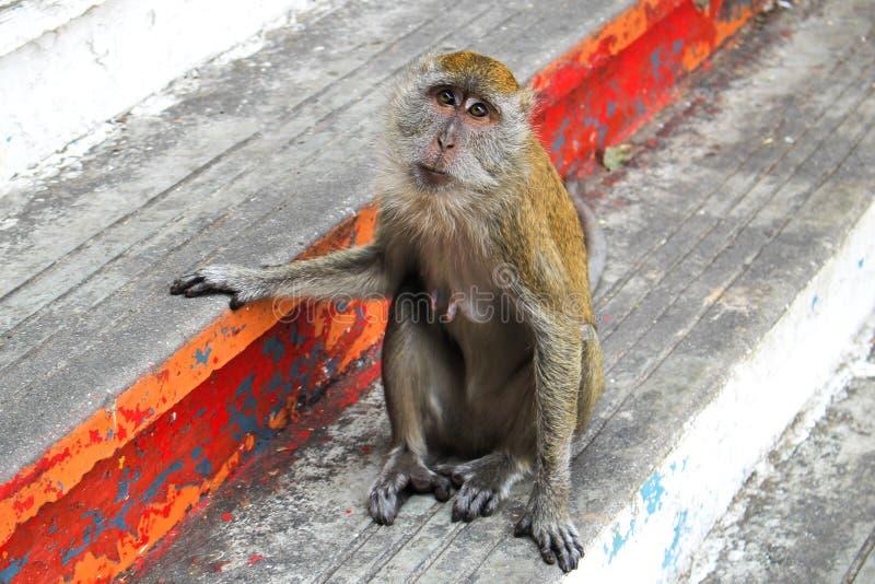 Singe de Macaque de longue queue images libres de droits