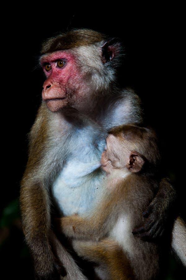 Singe de macaque de toque - mère allaitant le bébé images stock