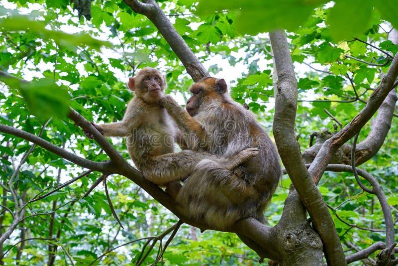 Singe de macaque de sylvanus de macaca de singes de Barbarie images libres de droits