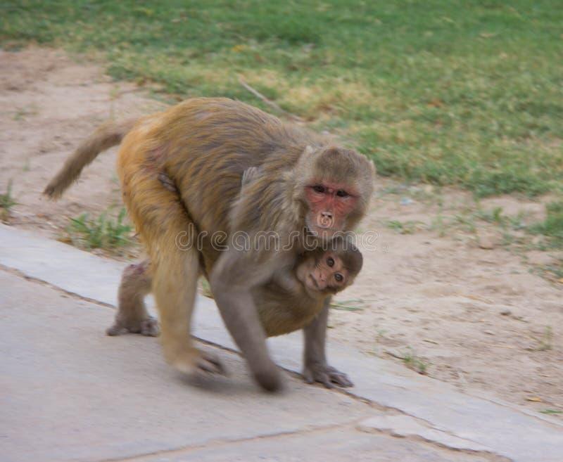 Singe de Macaques de rhésus de l'Inde photos libres de droits