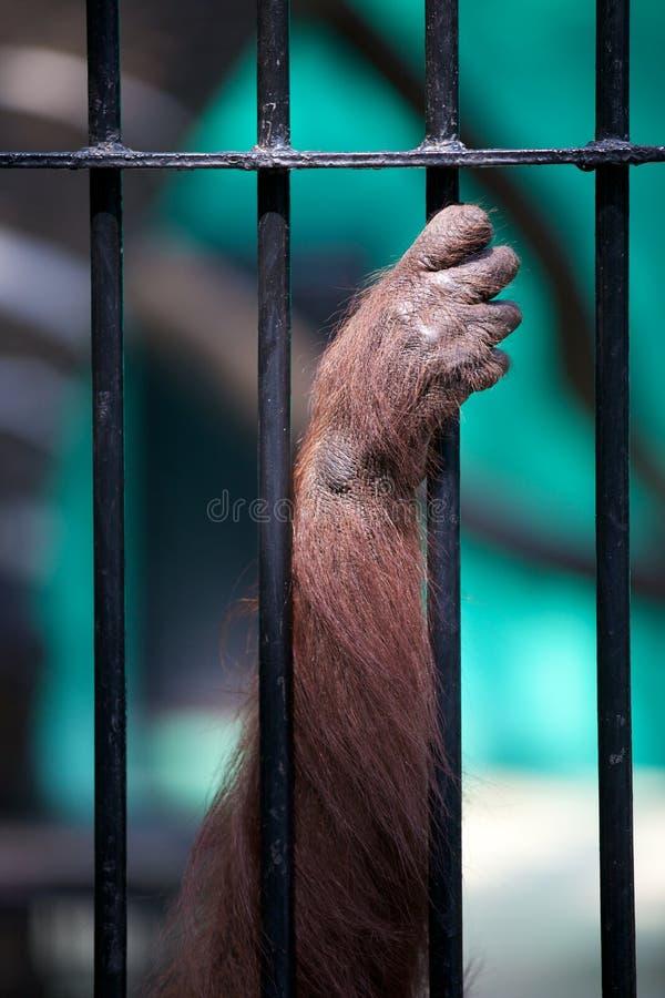Singe de main dans une cage photos libres de droits