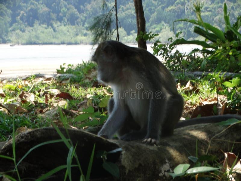 Singe de Makak dans la forêt humide du Bornéo photo stock