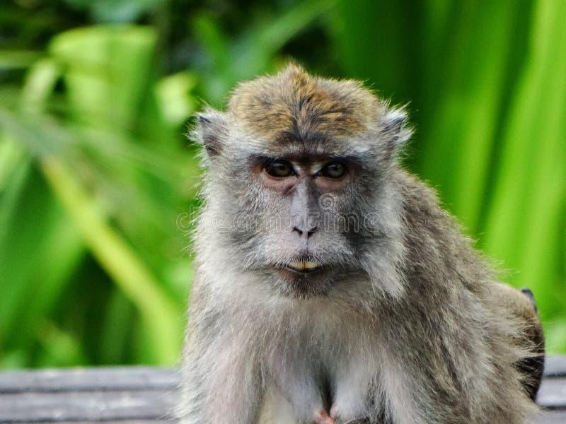 Singe de Makak dans la forêt humide du Bornéo image libre de droits