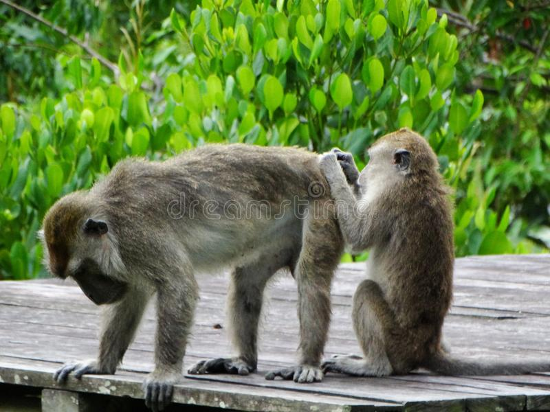 Singe de Makak dans la forêt humide du Bornéo photographie stock