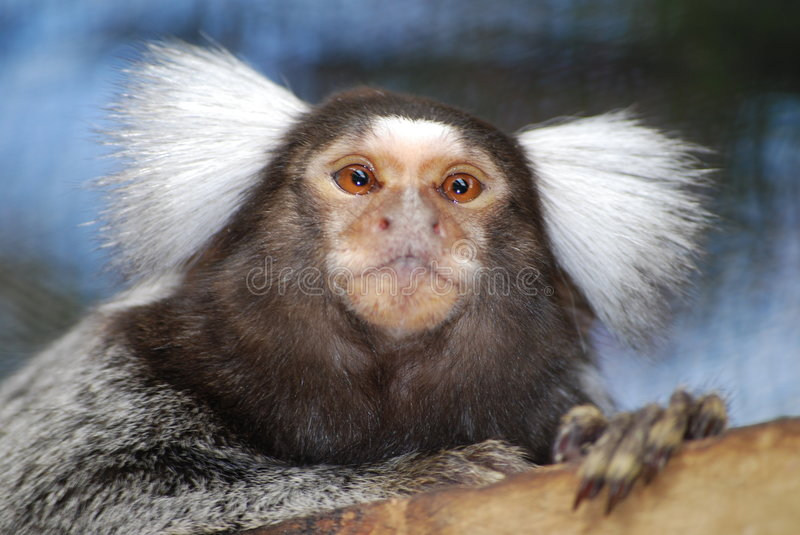 Singe de Marmoset photographie stock