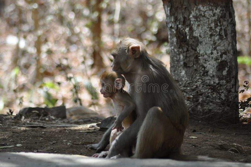 Singe de Mumbai photographie stock