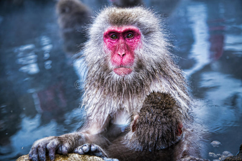 Singe de neige au parc Japon de singe image stock