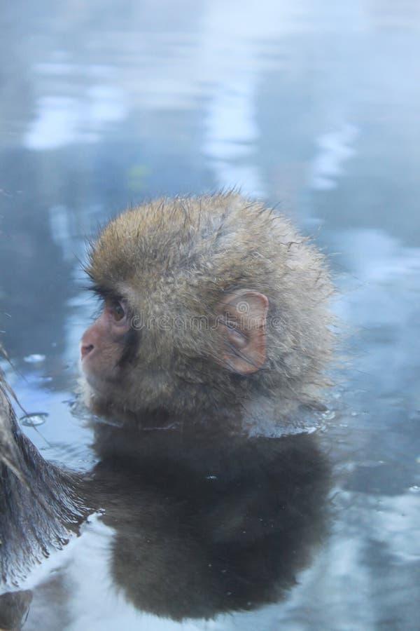 Singe de neige dans l'onsen images stock