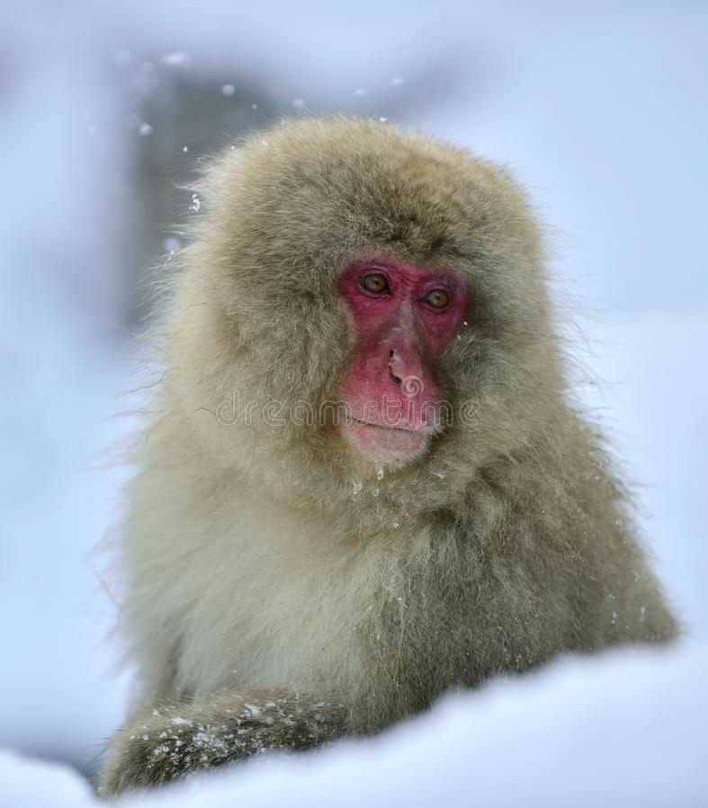 Singe de neige Le macaque japonais, également connu sous le nom de singe de neige photo libre de droits