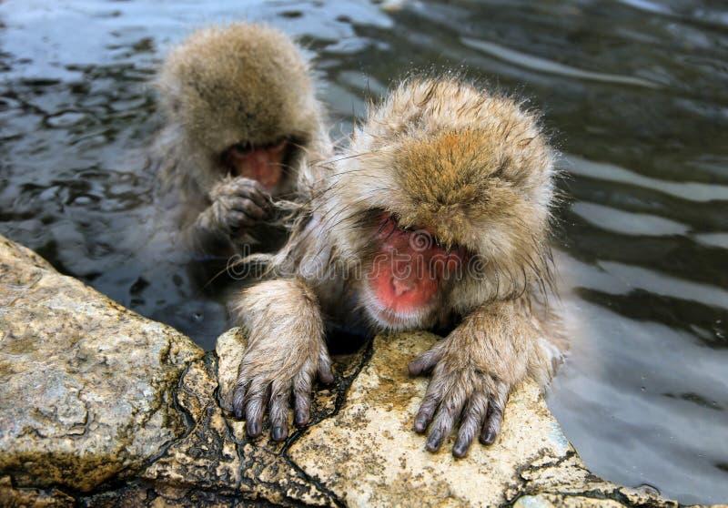 Singe de neige, macaque se baignant en source thermale, préfecture de Nagano, Japon photo stock