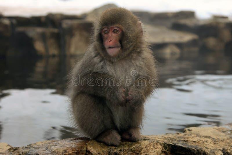 Singe de neige, macaque se baignant en source thermale, préfecture de Nagano, Japon photos libres de droits