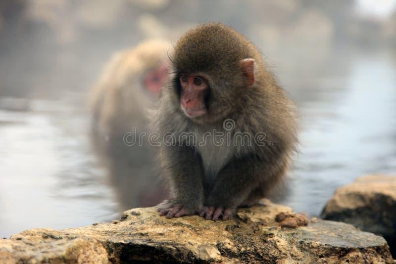 Singe de neige, macaque se baignant en source thermale, préfecture de Nagano, Japon photos stock