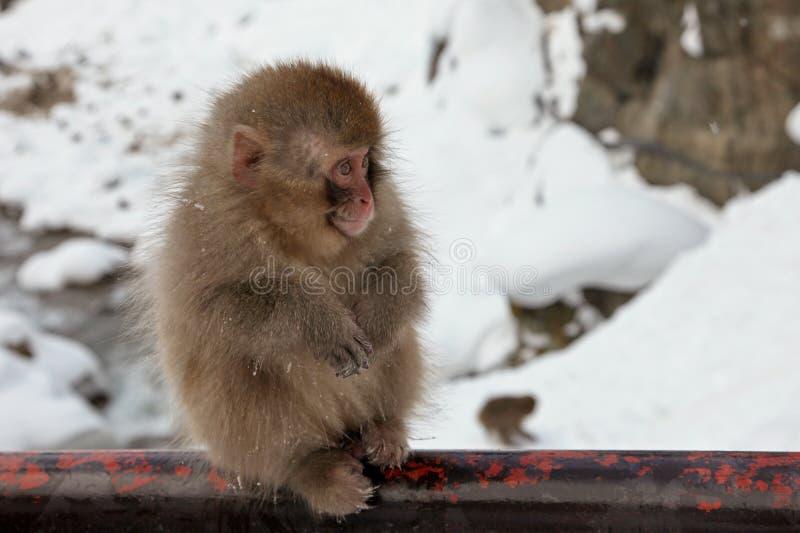 Singe de neige, préfecture de Nagano, Japon photographie stock
