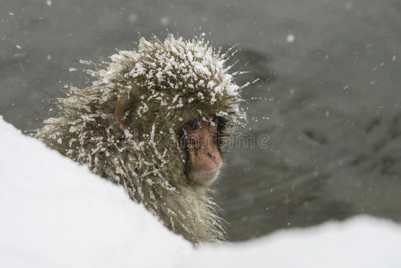 Singe de neige reposant la congélation extérieure image libre de droits
