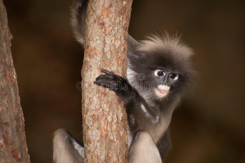 Singe de portrait sur l'arbre (obscura reid de Presbytis). images libres de droits