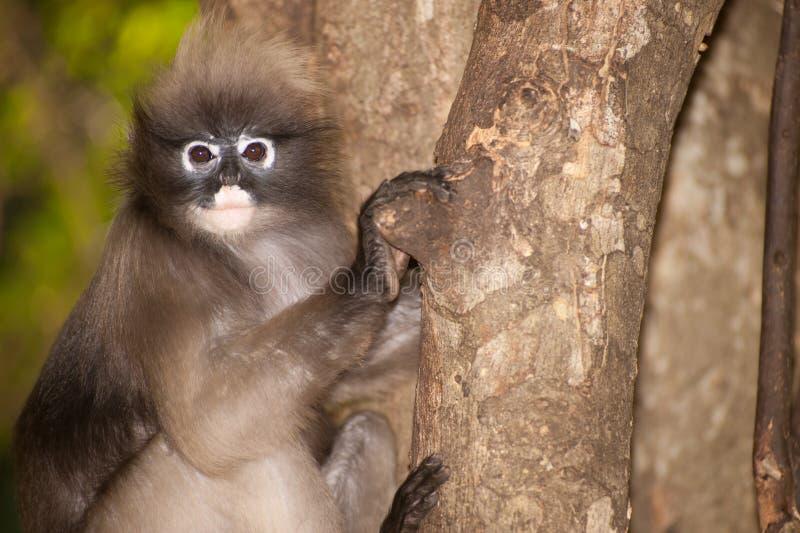 Singe de portrait sur l'arbre (obscura reid de Presbytis). photos libres de droits