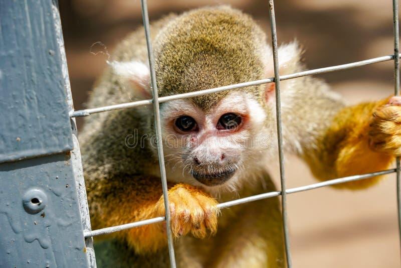 Singe de Saimiri dans le zoo photo libre de droits