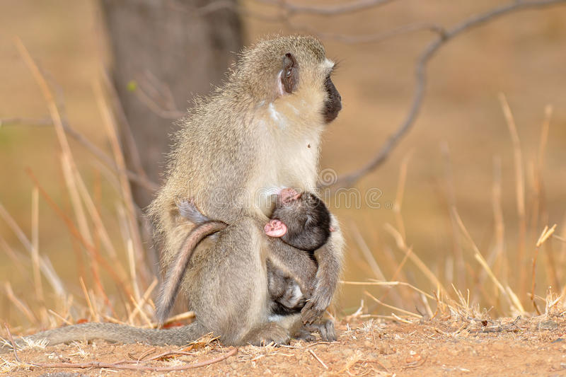 Singe de Vervet avec la chéri, stationnement national de Kruger, du sud photo stock