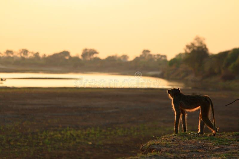 Singe de Vervet regardant le fleuve photographie stock libre de droits