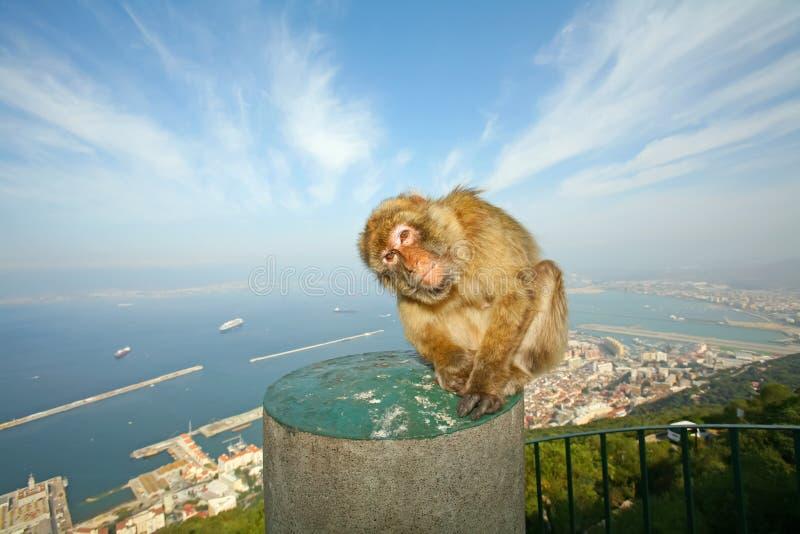 Singe du Gibraltar photo stock