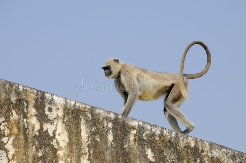 Singe du sud de Gray Langur de plaines dans l'Inde Jaipur image libre de droits
